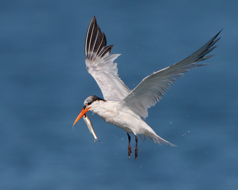 Elegant Tern, with tenuous grasp on fish