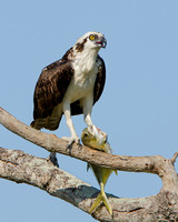 Osprey, with fish