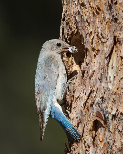 Mountain Bluebird, female retrieving fecal sac from nest