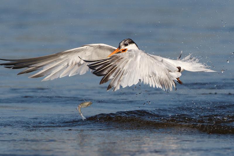 Elegant Tern, dropping fish