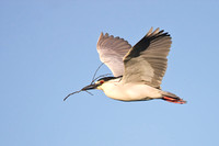 Black-crowned Night Heron, carrying nest material