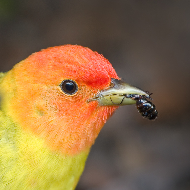 Western Tanager, eating an ant
