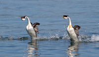 "Western Grebes, ""rushing"" courtship display"