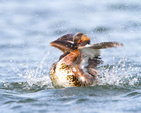 Horned Grebe, splashing