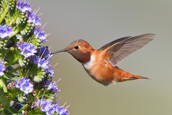 Rufous Hummingbird feeding
