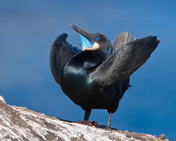 Brandt's Cormorant, courtship display