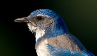 California Scrub-Jay (formerly Western Scrub-Jay)