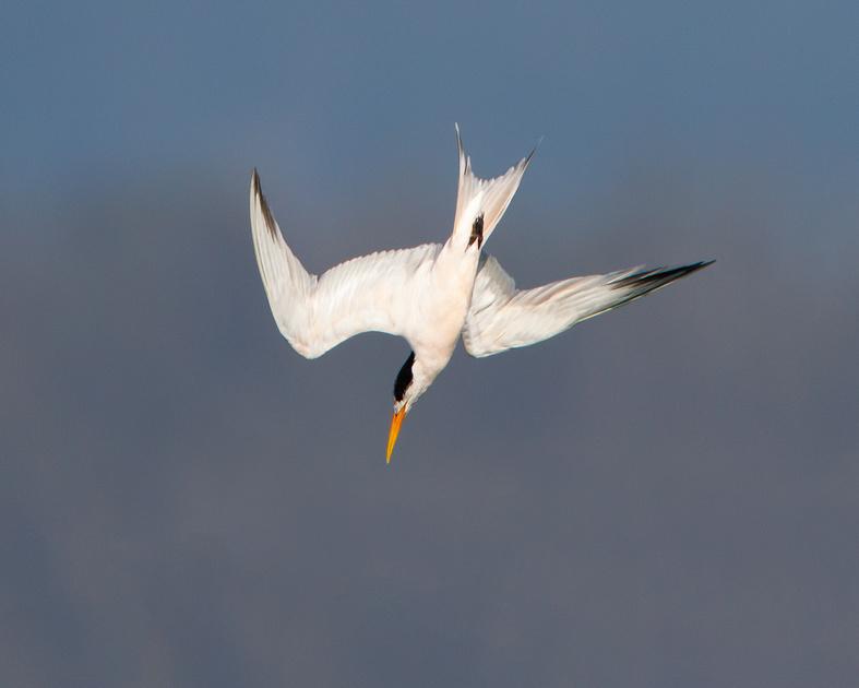 Elegant Tern, diving