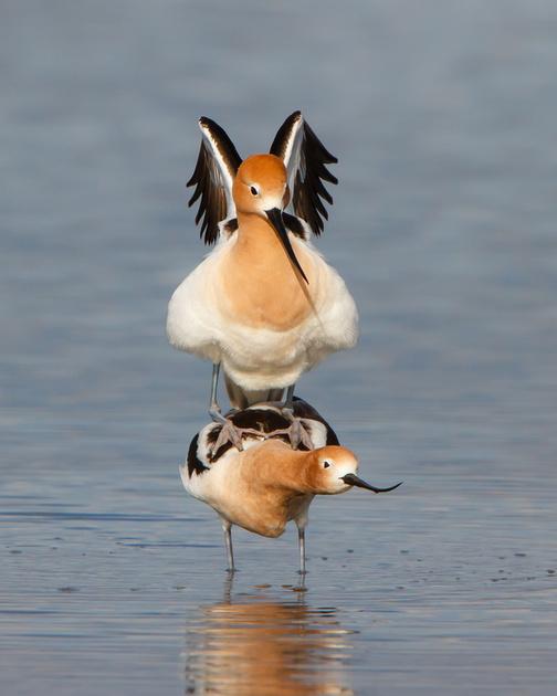 American Avocets, mating