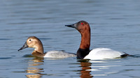 Canvasback, male & female courting