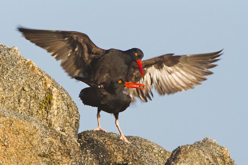 Black Oystercatchers, mating