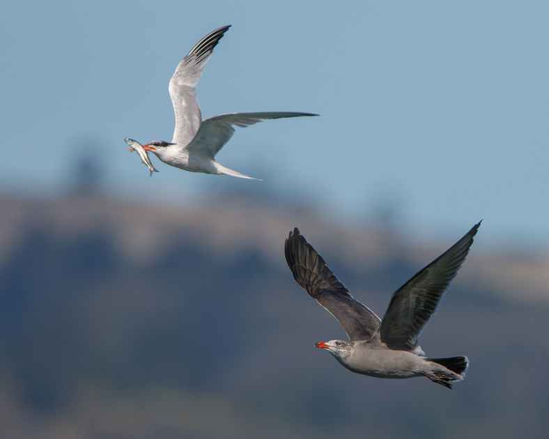 Elegant Tern with fish, chased by Heermann's Gull