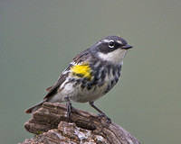Yellow-rumped (Myrtle) Warbler, breeding plumage