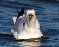 Ring-billed Gull, breeding adult
