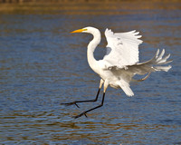 Great Egret, coming in for landing
