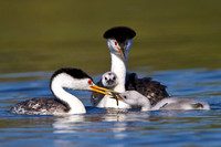 Clark's Grebe family; parent feeding chick; one chick looking on