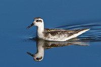 Red-necked Phalarope, with prey