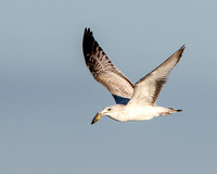 Californial Gull, immature with clam
