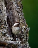 Chestnut-backed Chickadee, at nest entrance
