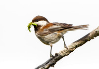Chestnut-backed Chickadee, with food for nearby chicks