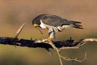 Peregrine Falcon, with Dowitcher leg
