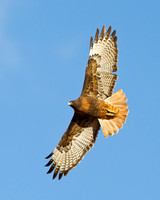 Red-tailed Hawk, dark morph