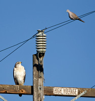 Ferruginous Hawk, in stare-down with Eurasian Collared Dove