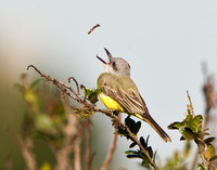 Tropical Kingbird, stick toss #2