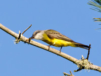 Tropical Kingbird, beating bee against branch