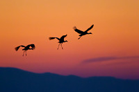 Silhouette of Sandhill Cranes landing after sunset