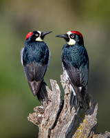Acorn Woodpeckers, female and male