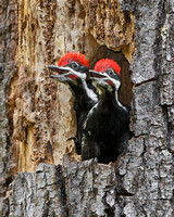 Pileated Woodpeckers, young birds in nest