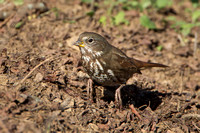 "Fox Sparrow, ""scratching"" for food"