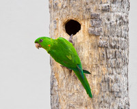 Green Parakeet, at nest
