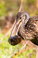 Limpkin, with snail