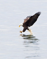 Bald Eagle, about to grab an unsuspecting fish from the water