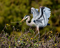 Great Blue Heron, delivering nest material