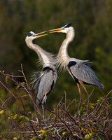 Great Blue Herons, courtship behavior