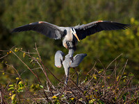 Great Blue Herons, mating