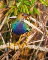 Purple Gallinule, female