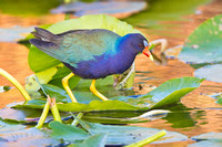 Purple Gallinule, male