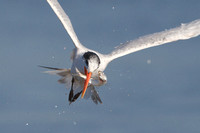 Elegant Tern, with fish