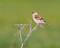 American Goldfinch, winter plumage
