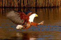 African Fish Eagle, extending its talons to grab a Talapia from the water (baited)