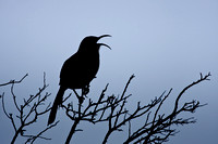 California Thrasher, singing at sunrise