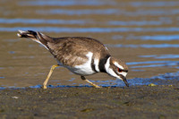 Killdeer, feeding