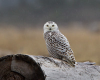 Snowy Owl, caught in the rain
