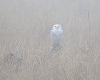Snowy Owl, on foggy morning