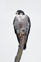 Peregrine Falcon, waiting for the sun to rise