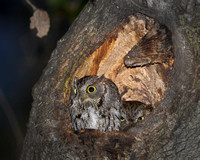 Western Screech Owls at nest cavity